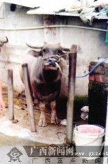 待宰活牛被强行灌水数十公斤 称为卖相更好